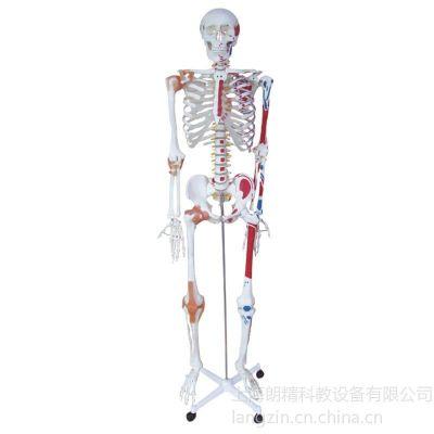 供应人体骨骼半边肌肉着色半边附韧带模型_全身骨骼模型_上海朗精医学模型