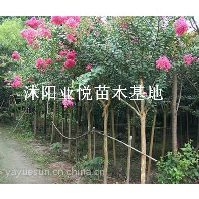 供应南京精品紫薇大量供应紫薇苗 2015年秋紫薇促销报价
