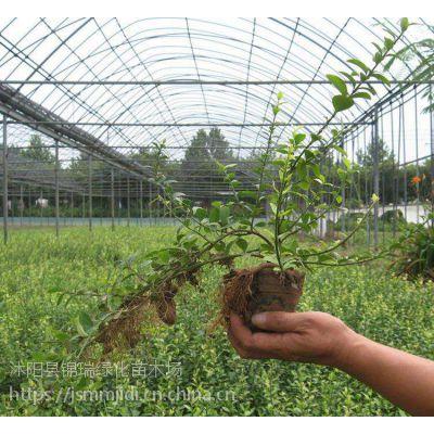 扶芳藤价格产地更便宜 而且有小叶和大叶两种扶芳藤供选择