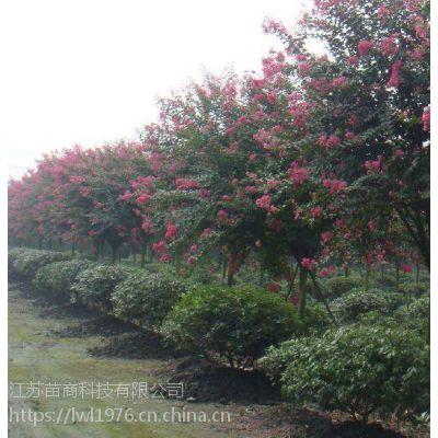 今年紫薇树 3公分·5公分多少钱一棵 ,湖南苗木基地报价