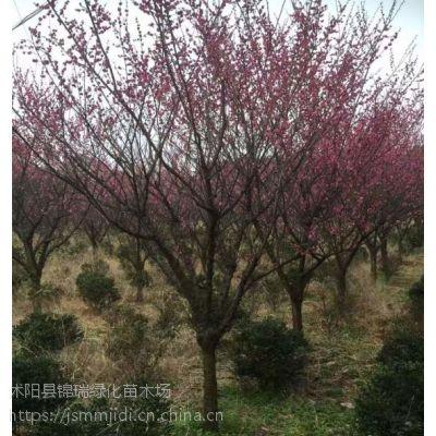 江苏红梅树基地 现货出售4公分5公分6公分红梅树 提供图片参考