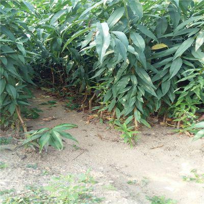 志森园艺批发桃树苗品种 黄冠黄桃树苗价格