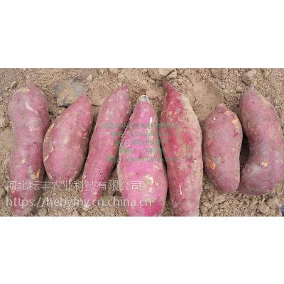 临沂烟薯25红薯大量批发 菏泽烟薯25红薯产地行情