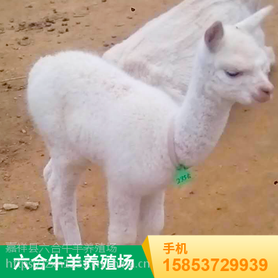 进口特种可爱羊驼 用于节日庆典 六合养殖场出租