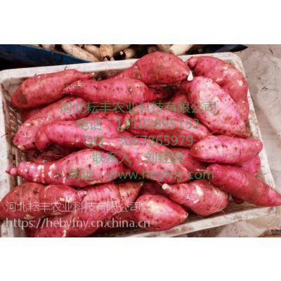 忻州徐薯18红薯价格 临汾徐薯18红薯批发