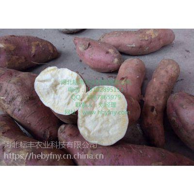 牧野济薯22红薯合作社 卫辉济薯22红薯基地