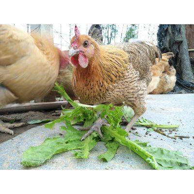 散养本地土鸡,供客户、遊人实地选购,不批发。