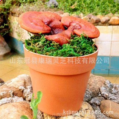 高档迷你小灵芝盆栽 活林芝 珍贵药材 美观大气 桌面精品林芝盆栽