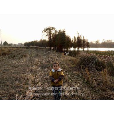 9公分池杉苗基地自产自销,无中介,质量保证价格更低