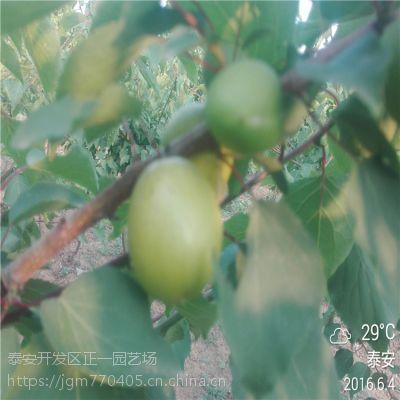 早熟杏树苗价格多少钱一株