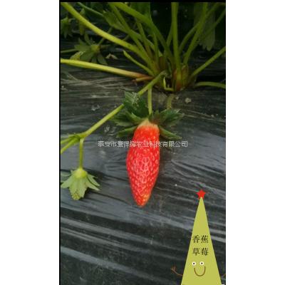 香蕉草莓苗批发多少钱一棵