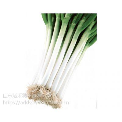 【石珠一本F1】 长势快,栽培容易的日本进口杂交一代大葱品种