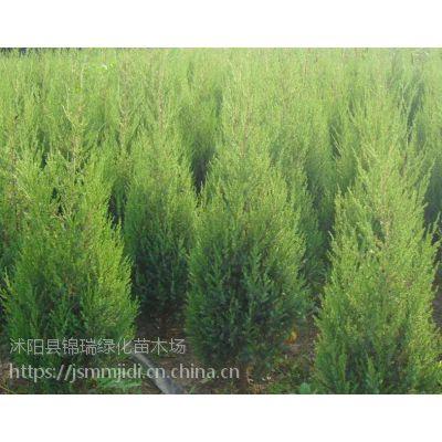 江苏桧柏基地 低价出售2米-3米高桧柏 货源充足当天发货