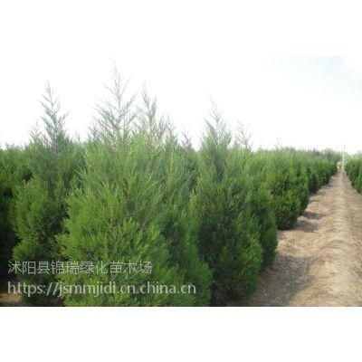 江苏柏树基地 批发供应1-2-3米高墓地专用柏树(松树)