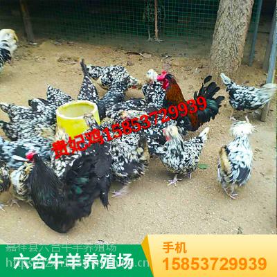 成年药用七彩山鸡 观赏价值高 肉质细嫩鲜美 野味浓 欢迎采购