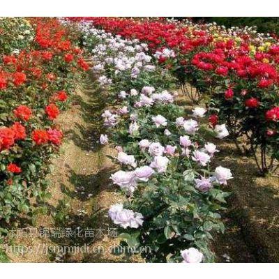 哪里卖月季工程苗 江苏专卖露天种植的月季工程苗
