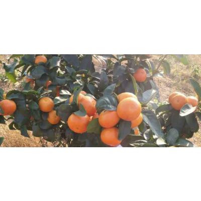 南宁供应巴西蜜桔苗|南宁巴西蜜桔苗基地批发|南宁巴西蜜桔苗价格?