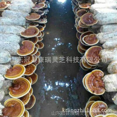 基地大量批发灵芝菌种 产地直销 多个品种灵芝菌棒 免费技术指导