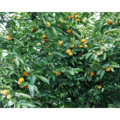 阳丰柿子苗市场价格 阳丰柿子苗种植前景