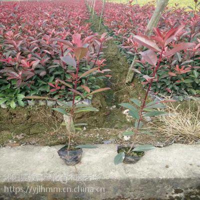 供应江苏金叶女贞批发价格,红叶小檗销售价格,红叶石楠,各种苗木批发