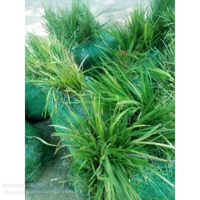 王坤麦冬草基地产销 数量多 质量好 全国招商