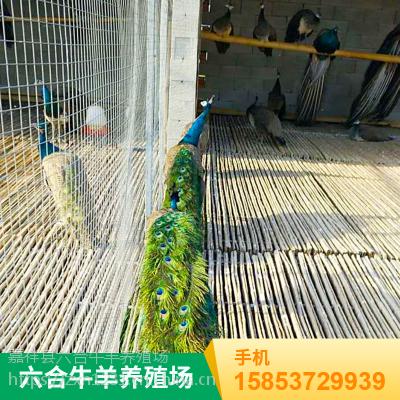 观赏成年特种白色孔雀 品种多样 华旺孔雀养殖场