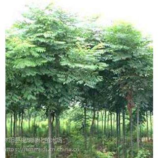 江苏栾树基地 5公分6公分7公分栾树价格