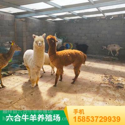 神兽羊驼出售价格 观赏小只的羊驼 养殖场批发