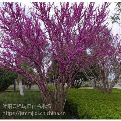 江苏丛生紫荆基地 出售1-2-3米高多分支丛生紫荆