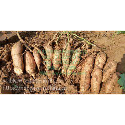 晋中秦薯7号红薯品种多少钱 运城秦薯7号红薯报价