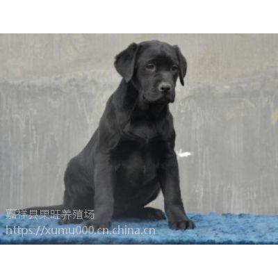 拉布拉多犬 拉布拉多幼犬价格 纯种拉布拉多多少钱