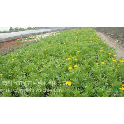 金鸡菊(大花金鸡菊)青州金鸡菊种植基地
