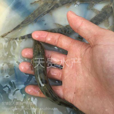 出售老虎鱼苗鲜活水产观赏鱼