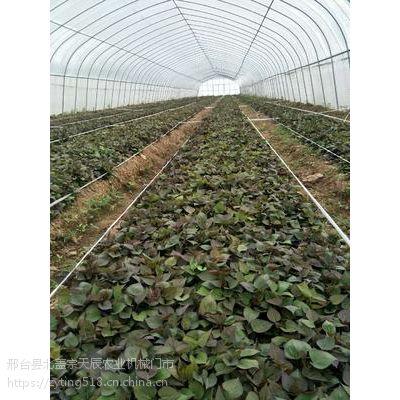 西瓜红(普薯32)红薯苗 地瓜苗