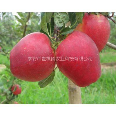 壹棵树 红肉苹果树苗 优质苹果树苗哪里卖 厂家直销
