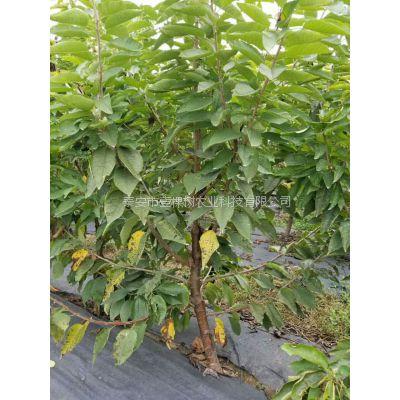 矮化樱桃苗 3公分大樱桃树多少钱