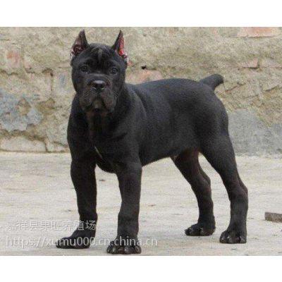 卡斯罗 卡斯罗价格 卡斯罗幼犬