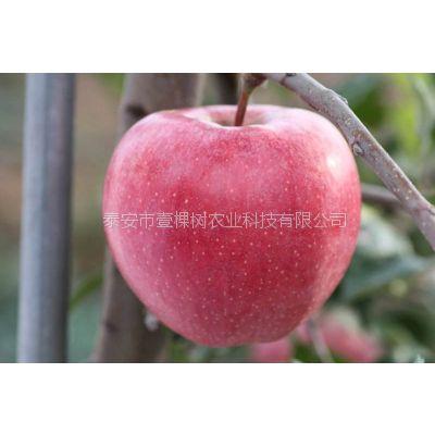 富红苹果苗简介 基地 价格