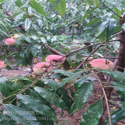 志森园艺桃树苗规格 3厘米桃树苗映霜红价格