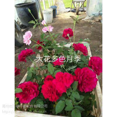 【青州藤本月季】种植基地--青州万绿千香
