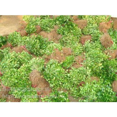 产地销售30公分高瓜子黄杨苗、35公分高瓜子黄杨苗 苗圃现货