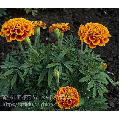 青州万寿菊种植基地
