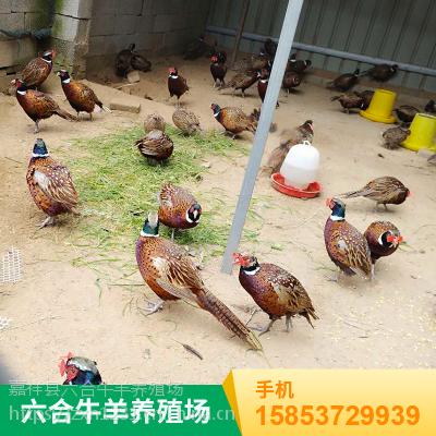 名贵野味珍禽两栖七彩野鸡成体 华旺特种养殖场批发