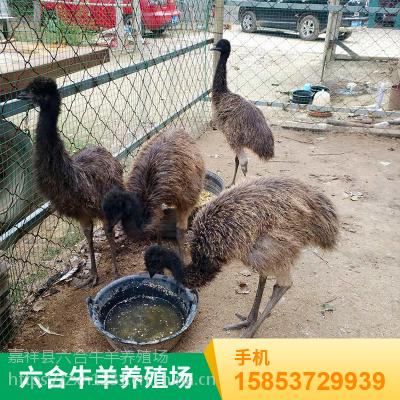 澳洲成年鸵鸟 山东观赏特种鸵鸟 华旺特种养殖场销售