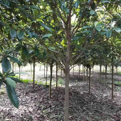 枇杷树价格_枇杷树的价格_枇杷树报价