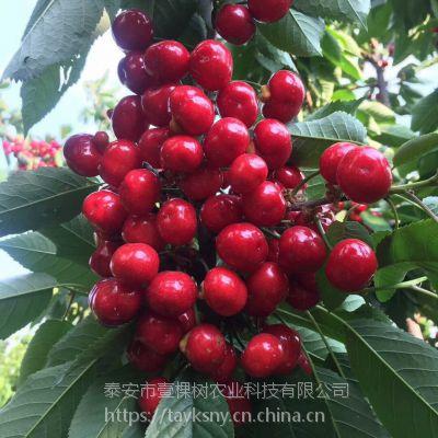 壹棵树农业砂蜜豆车厘子幼苗种植技术