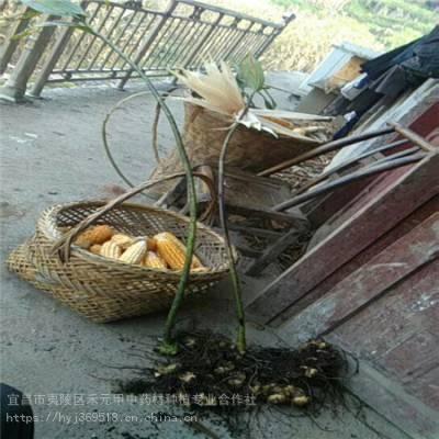 河北廊坊野三七种植基地 竹节参基地批发采购 竹节参种植