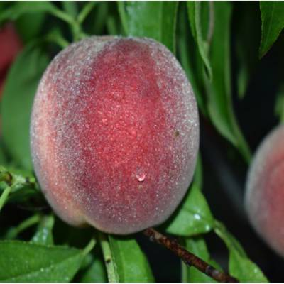 梨树幼苗批发市场 黄桃幼苗种子 润丰 杏李幼苗批发价