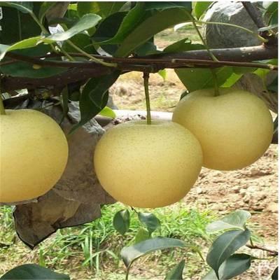 苏脆一号早熟梨树苗价格 红梨苗多少钱一棵 梨树木材