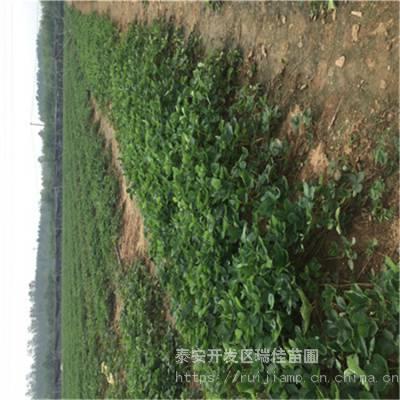 日本99草莓苗推荐品种日本99草莓苗哪里有卖的